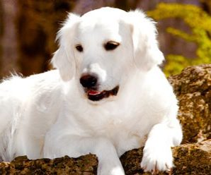 Know Your Golden Retriever Breeders