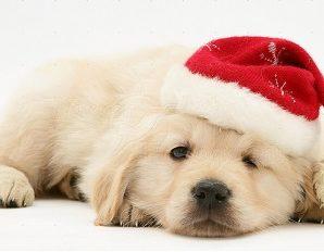 Golden Retriever Christmas Puppies