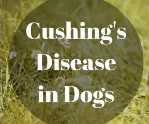 Cushing's Disease In Golden Retriever Dogs
