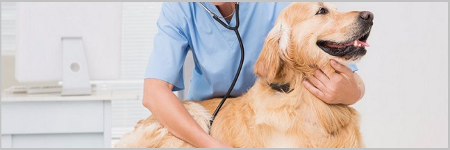 Diagnosing Pancreatitis In Golden Retriever Dogs