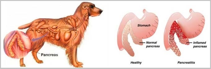 Pancreatitis In Golden Retriever Dogs2