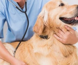 Pancreatitis In Golden Retriever Dogs : Symptoms, Causes and Treatment