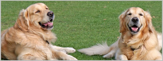 Preventing the Recurrence of Pancreatitis In Golden Retriever Dogs