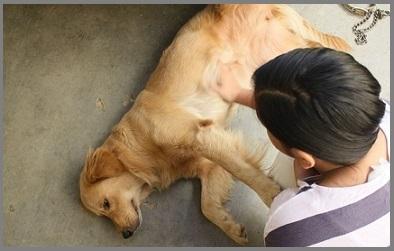 Kidney Stones In Golden Retriever Dogs