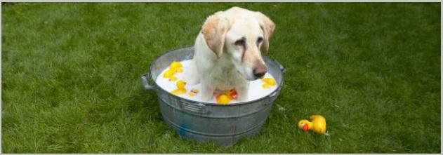 Dog Bathing Tips For Golden Retriever Dogs