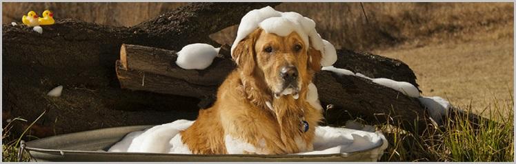 Dog Shampoo for golden retriever - Can You Wash A Dog With Regular Shampoo 2