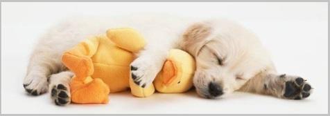 Golden Retriever Puppy Temperament Noise Tolerance