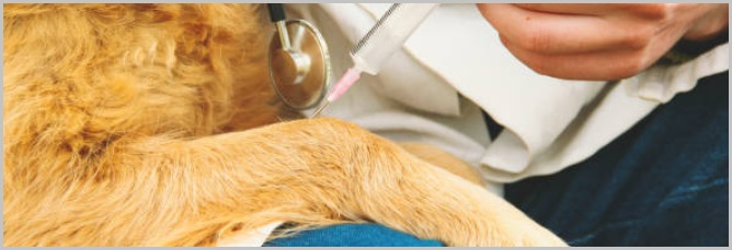 Safety Through Vaccinations For Golden retriever Dogs