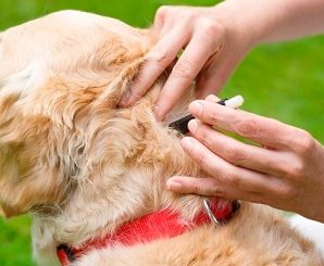 How To Remove A Tick From A Dog : Case Of Golden Retrievers