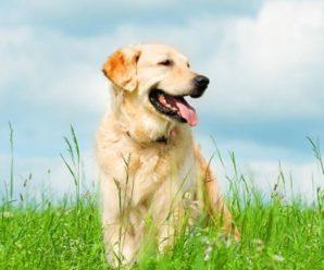 Dog Marking Behavior : Case Of Golden Retriever
